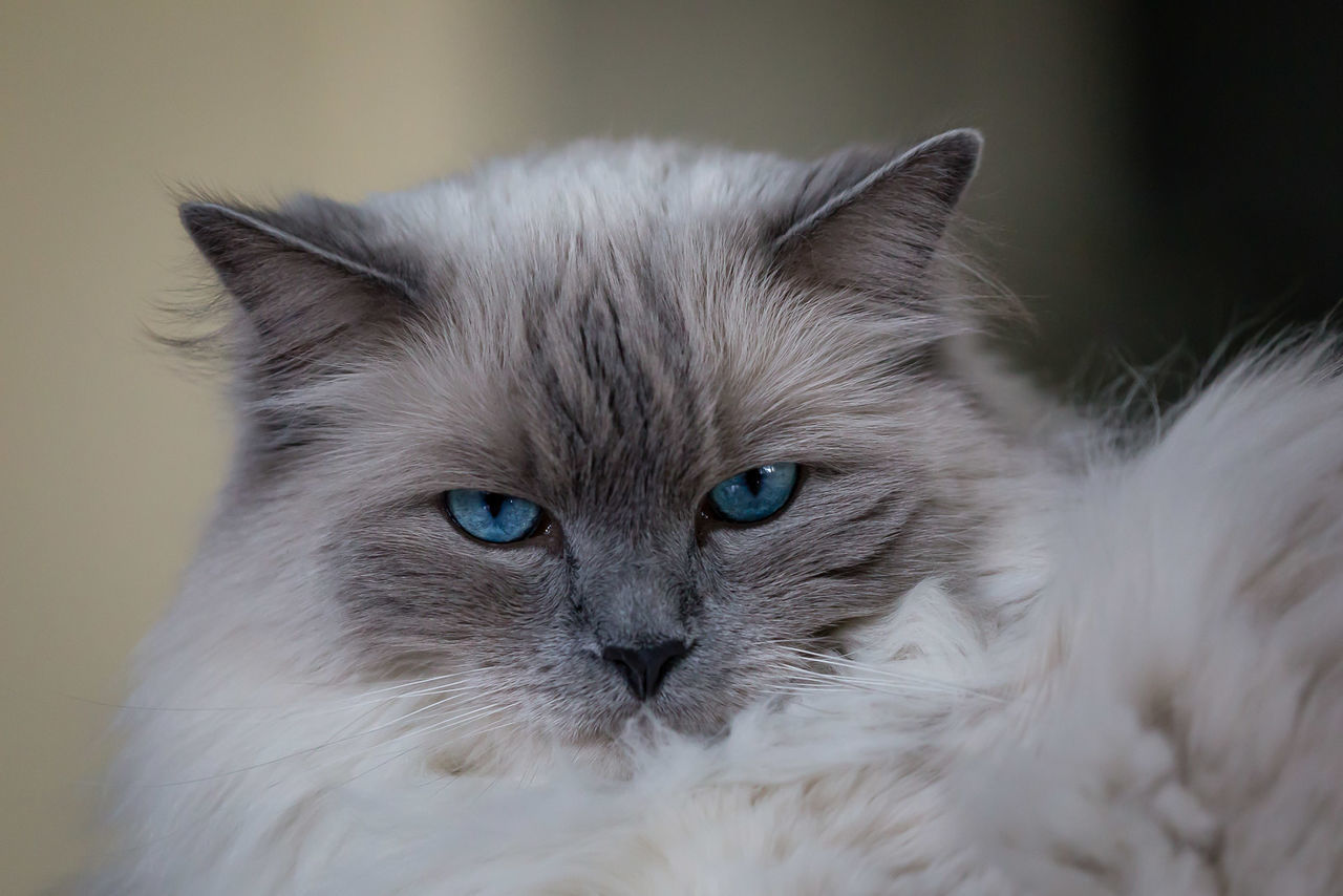 Beautiful stock photos of katzen, Alertness, Animal Themes, Blue Eyes, Cat