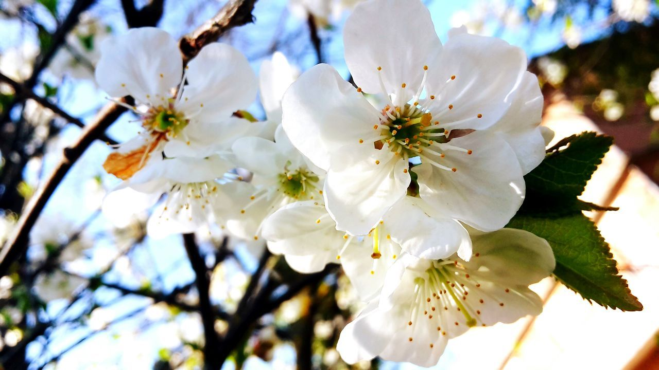 flower, white color, fragility, blossom, beauty in nature, apple blossom, petal, springtime, freshness, tree, branch, apple tree, cherry blossom, growth, nature, orchard, stamen, botany, flower head, almond tree, pollen, cherry tree, close-up, twig, plum blossom, day, no people, selective focus, outdoors, low angle view, blooming