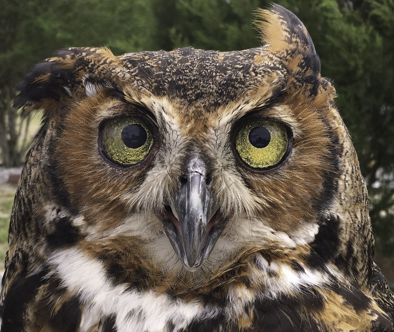 Great Horned Owl Animal Themes Animal Wildlife Animals In The Wild Beak Beauty In Nature Bird Bird Of Prey Close-up Great Horned Owl Looking At Camera Nature One Animal Owl Portrait