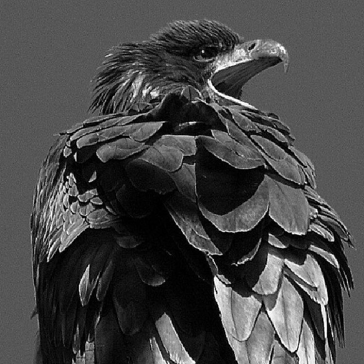 All_mighty_predators_bnw Allmightybirds Bestnatureshots Elite_natureshooter edit_perfection ig_exquisite md_editz md_animals natureelite nature_uc naturehippys