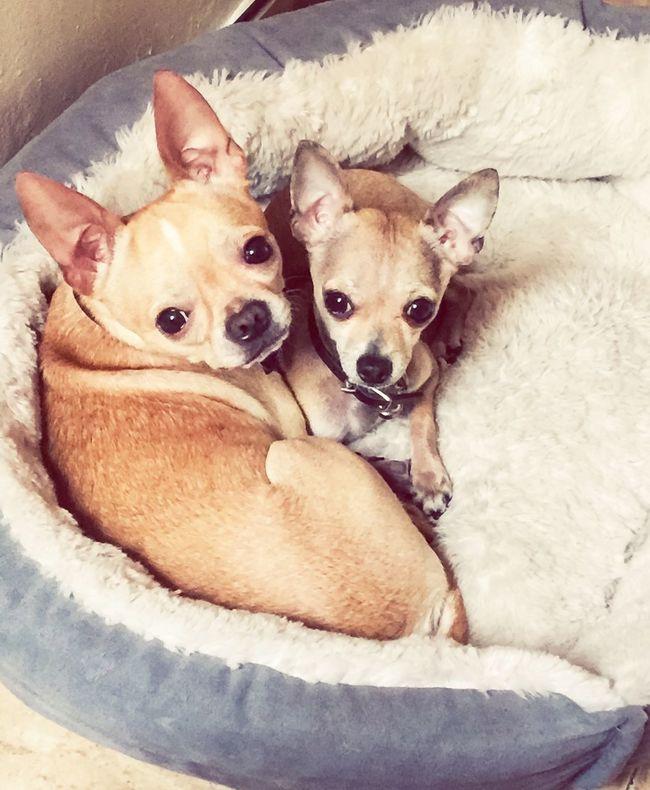 Hello World Chihuahualovers Chihuahua Puppies Lovemydogs