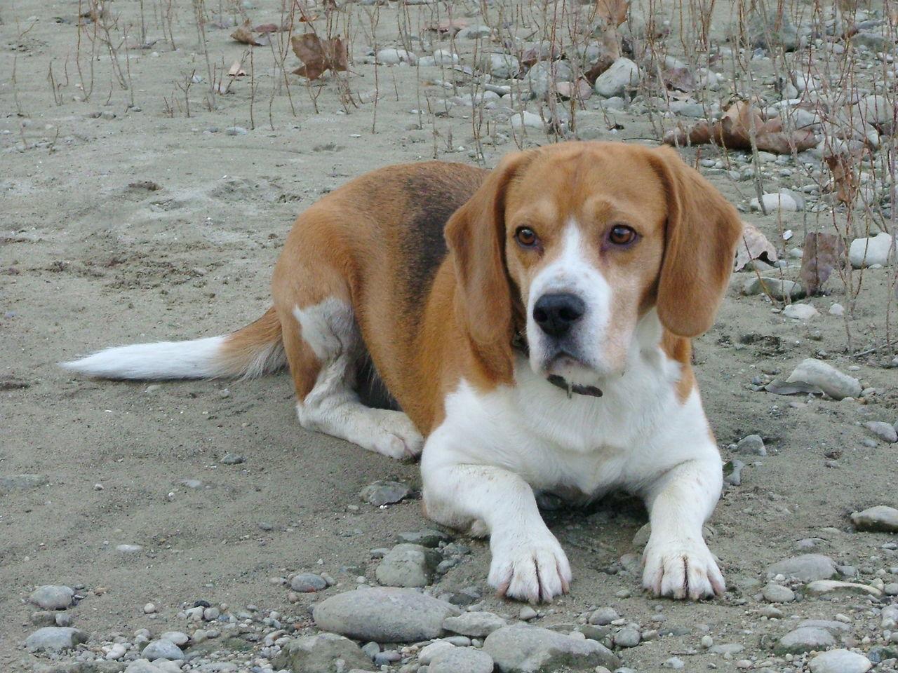 Betyár Beagle Beaglelove Beaglelovers Beagles  Betyár Doglover Doglovers Dogs Dogs Of EyeEm Dogslife Hunter Kutyasetaltatas My Puppy Puppy Puppy Love PuppyLove Raskal