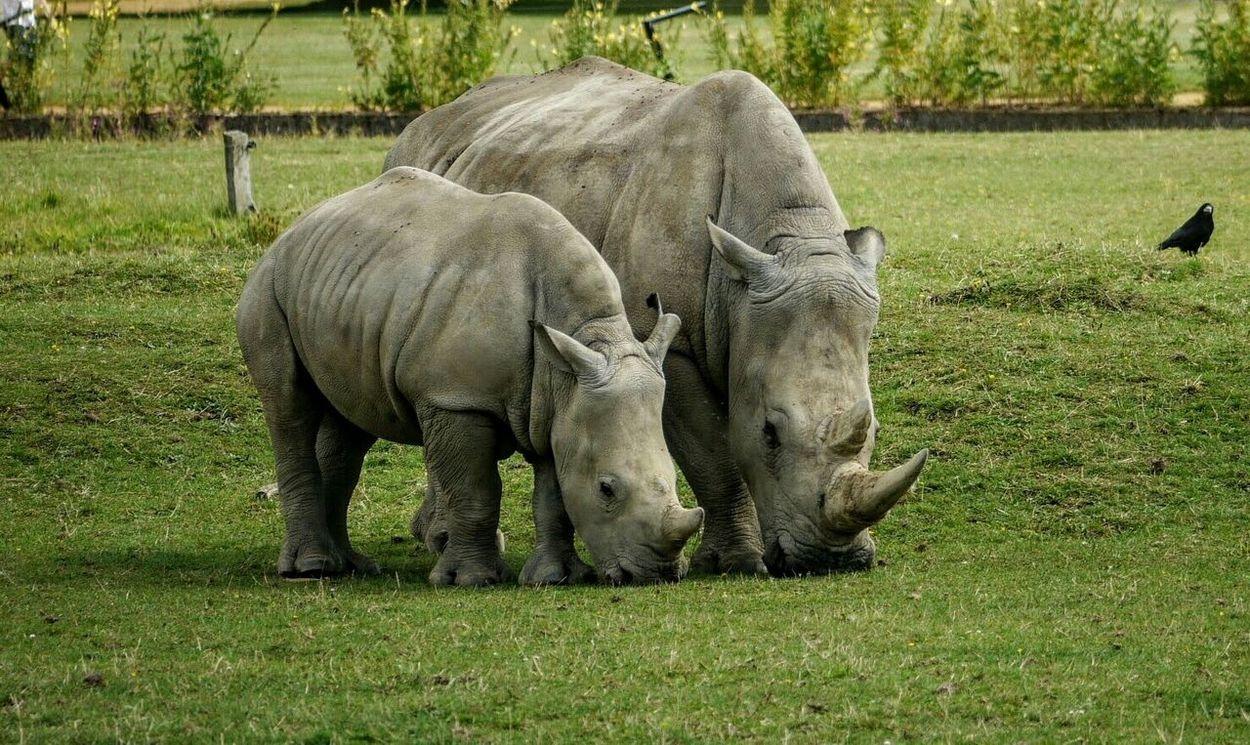 Rhinos Zoo Zoo Animals