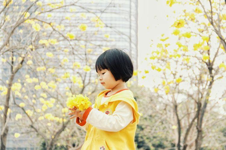 Tabebuia Chrysantha 黄花风铃木