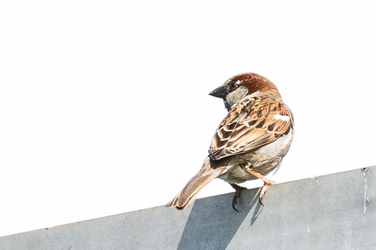 Low Angle View Of Sparrow