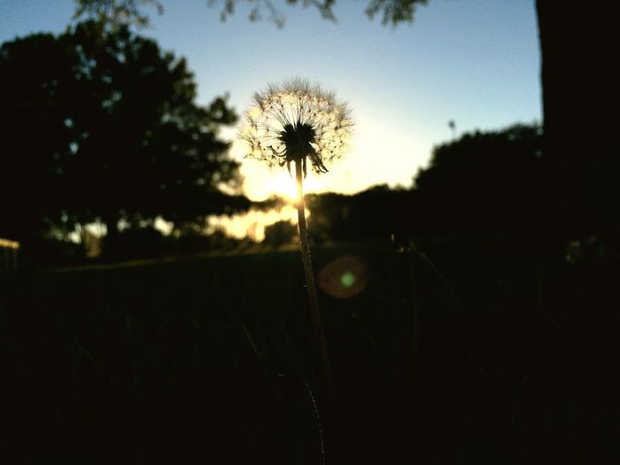 Focus On Foreground Close-up Fragility Nature Sky Growth Sunset Field Silhouette Dandelion Seed Outdoors Beauty In Nature
