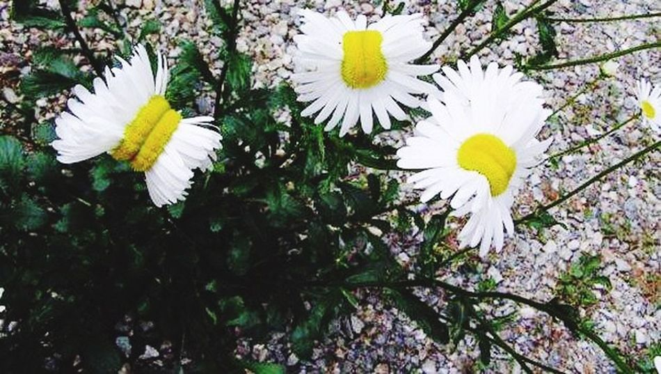 Fukuşima da nükleer sızıntı bitkisi... Fukusima Japan Flowers