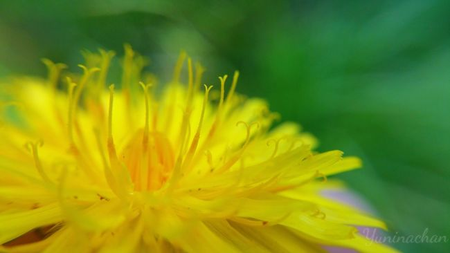 Flower Yellow Nature Plant Close-up Beauty In Nature Flower Head Outdoors PhonePhotography Dandelion Microlens  Beautiful Freshness Autumn Photo