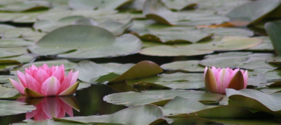 Beuty In Nature Beuty Of Nature Lakeshore Natrual Beauty  Natural Beauty Nature Nature On Your Doorstep Nature Photography Nature_collection Pond Water Lilies. Lilly Pads. Water Lillies Water Lily, Flower Waterlilies Waterlilly Waterlily Waterlily Pads