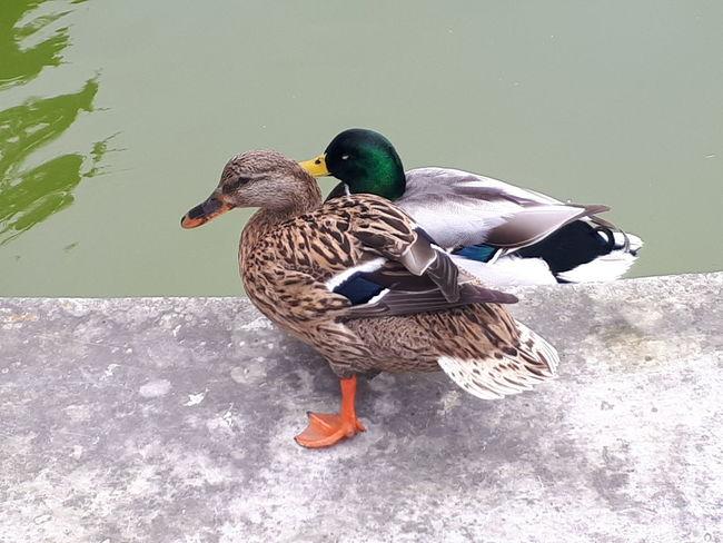 Bird Animals In The Wild Duck Animal Themes Animal Wildlife One Animal Nature