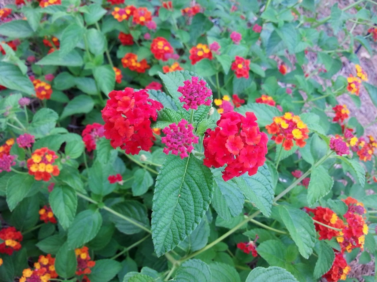 growth, flower, leaf, plant, beauty in nature, green color, nature, fragility, freshness, outdoors, blooming, petal, day, no people, flower head, park - man made space, lantana camara, close-up