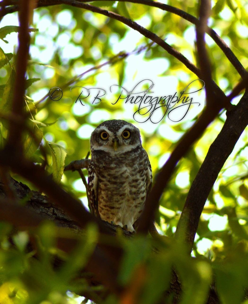 one animal, animal themes, animals in the wild, animal wildlife, day, nature, branch, owl, no people, tree, outdoors, bird, portrait, close-up, bird of prey