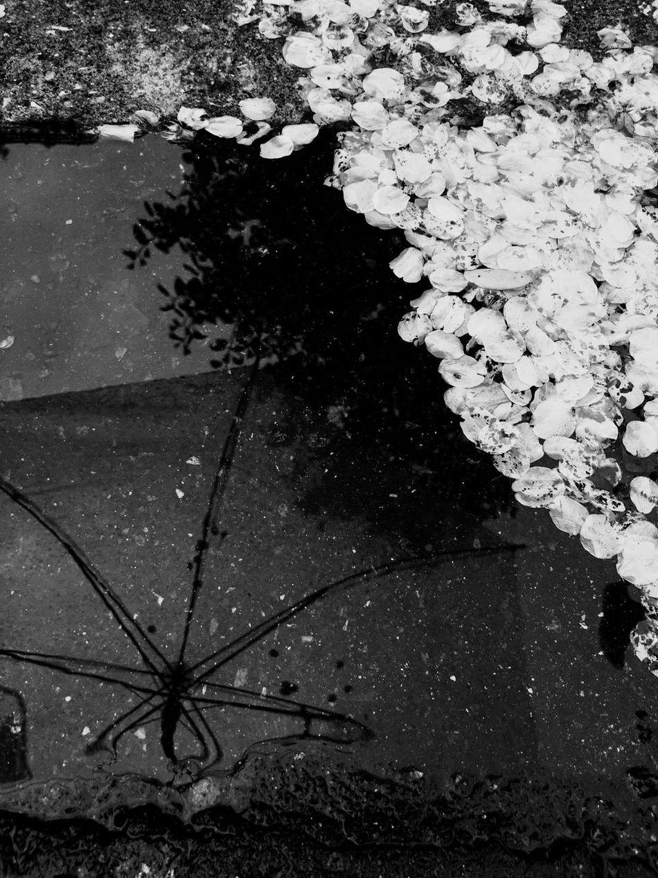 Cherryblossom Puddle Water Rain Rainy Days Umbrella Blackandwhite Black And White Black & White Black&white