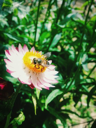 Bee 🐝 Cameronhighlands