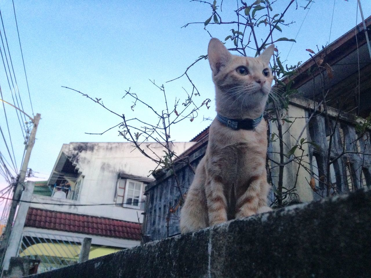 Little cat on wall Little Cat Thai Street Cat On Wall Opposite House Look At  Yellow Cat Kid Cat Bangbumru Charunsanitwong Bangkok Morning Sitting And Looking