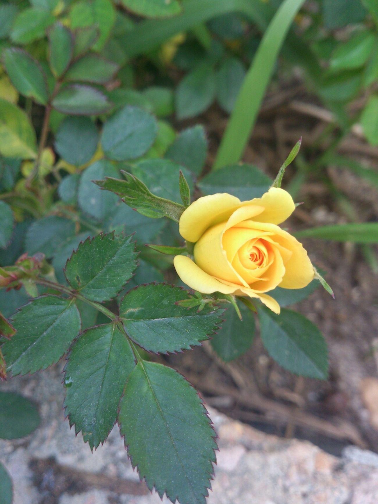 Take By Me :) Yellow Rose Tobruk Libyaphotos