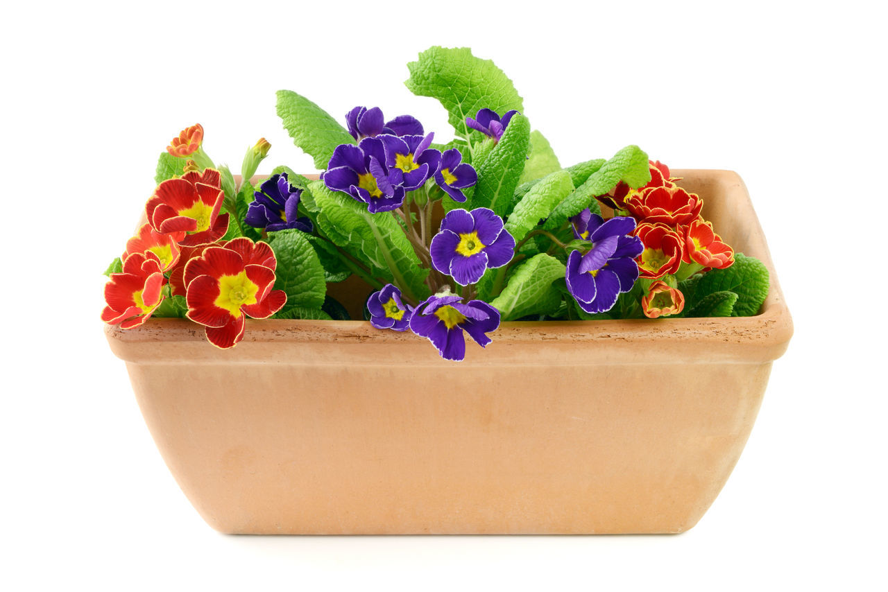blue and red primula flowers potted on white isolated background Flower Flower Head Plant Potted Flower Potted Plant Primel Primrose Primroses Primula Primulas White Background