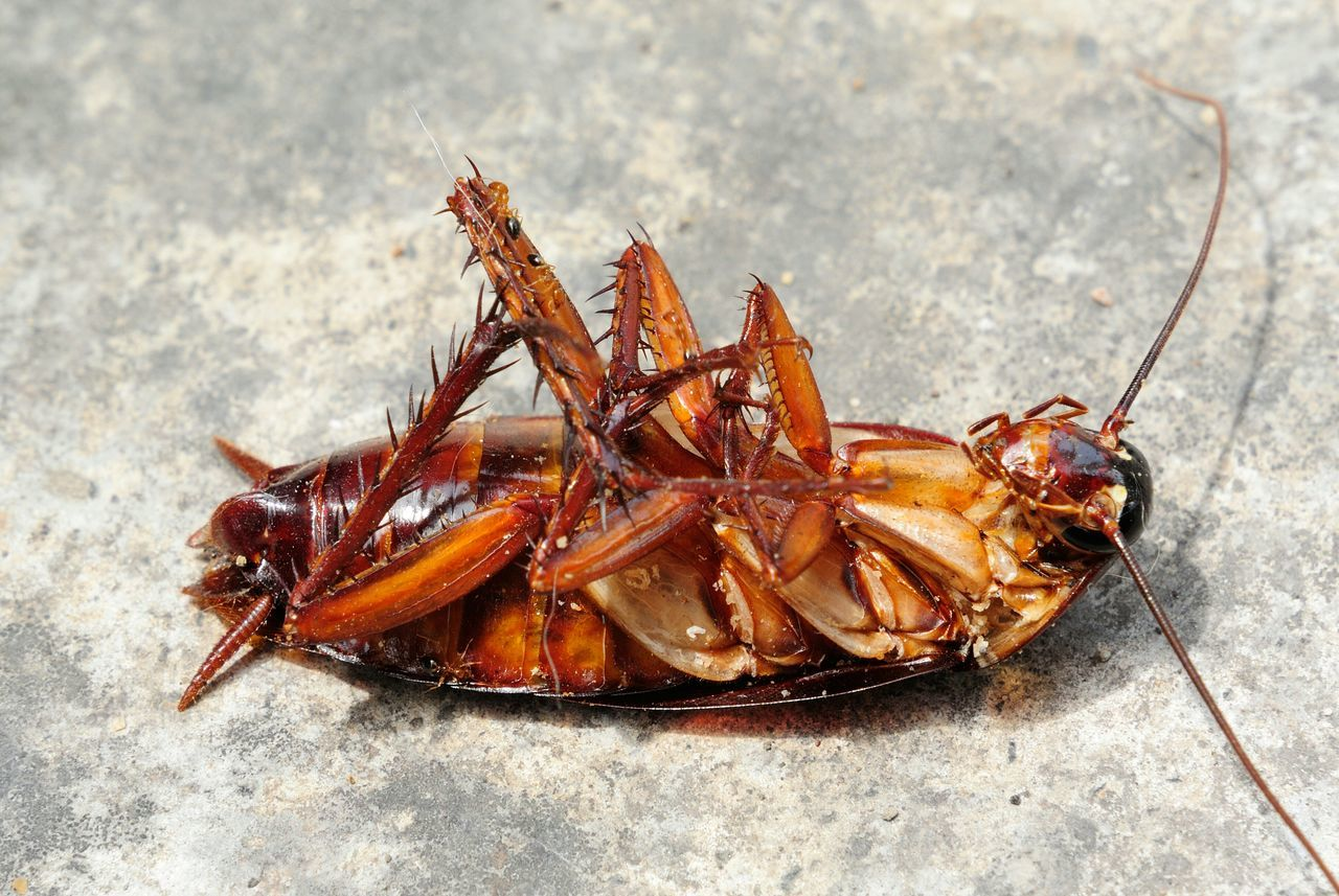 Beautiful stock photos of cockroach, Animal Themes, Animals In The Wild, Close-Up, Cockroach