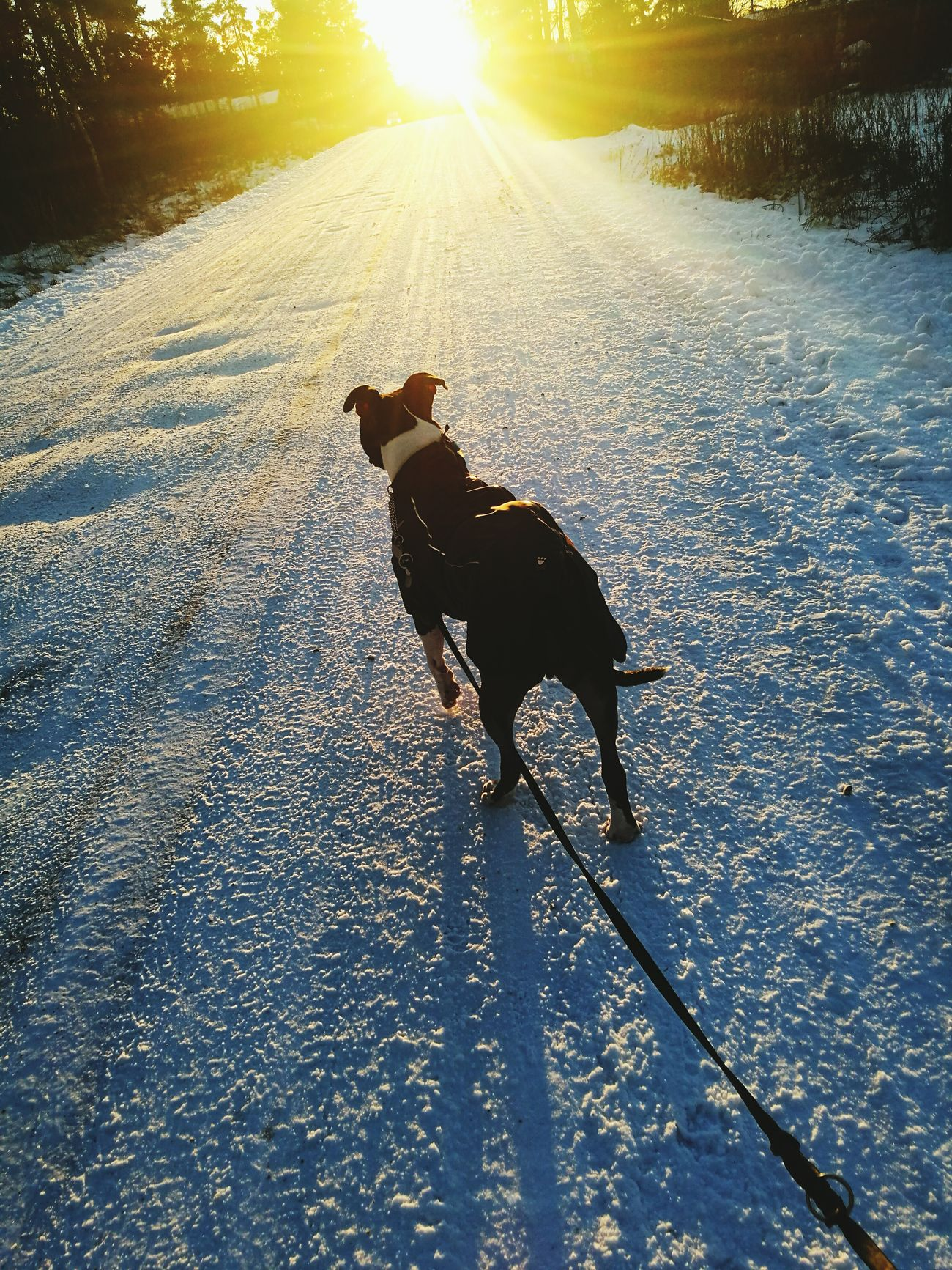 Amstafflove Dog❤ Amstaff Winter Love ♥ ❄ Finland Enjoying Life Doglife