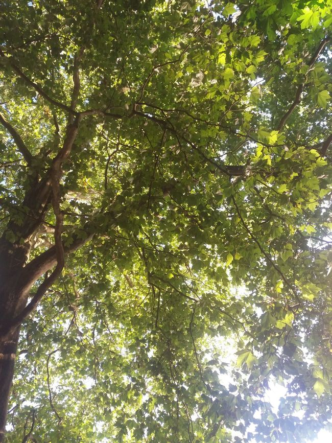 Tree canopy at Schlachtensee Beauty In Nature Branch Day Freshness Full Frame Green Green Color Growth Low Angle View Lush Foliage Nature Outdoors Scenics Sky Tranquil Scene Tranquility Tree Tree Canopy  Treetop WoodLand