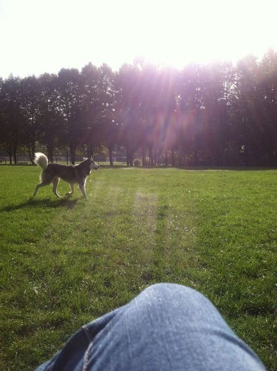 Animal Themes Day Dog Dog Park Domestic Animals Grass Growth Human Leg Mammal Nature One Animal One Person Outdoors People Pets Siberianhusky Tree
