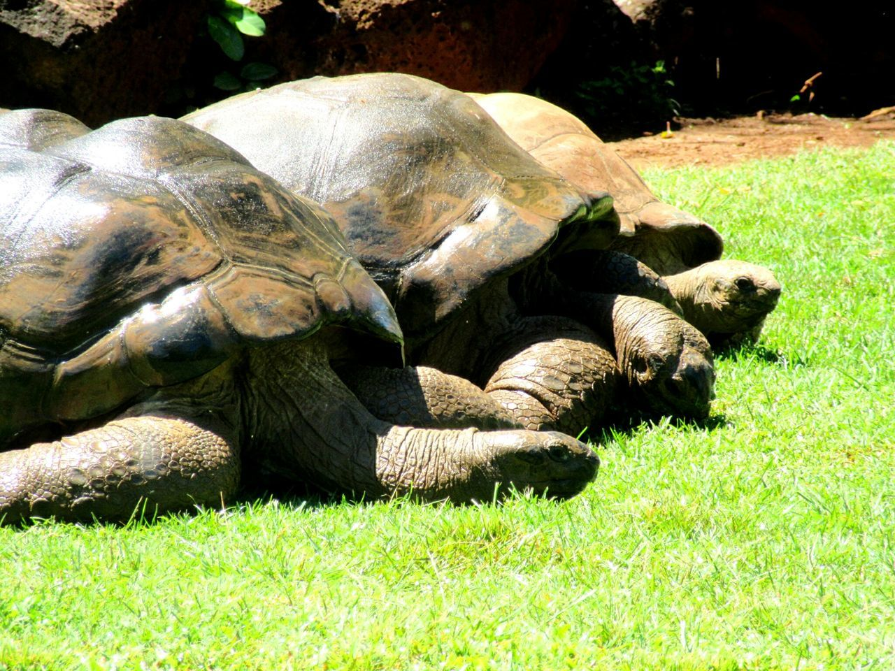 Sunlight Grass Lying Down Animal Themes Green Color Nature Day Animals In The Wild Reptile Photography Reptiles Of Eyeem Reptile Collection Backgrounds Zoo Animals  Grazing Giant Tortoise Aldabra Giant Tortoise Honolulu Zoo