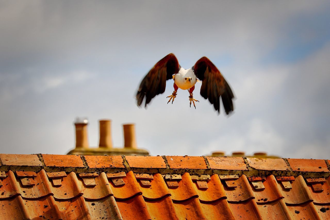 animal themes, no people, bird, low angle view, sky, day, outdoors, animals in the wild, roof, one animal, flying, architecture, nature, close-up, spread wings