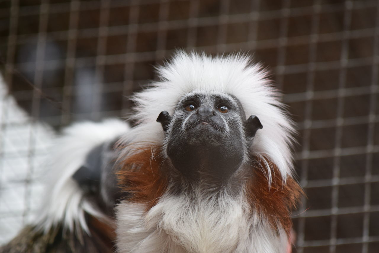 Tamarin pinché Animal Themes Animal Wildlife Animals In Captivity Animals In The Wild Bird Cage Close-up Day Focus On Foreground Looking At Camera Mammal Monkey Nature No People One Animal Outdoors Portrait Tamarin Monkey Tamarin Pinché