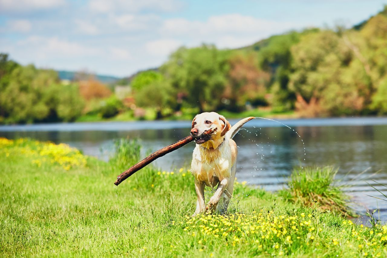 Dog after swimming in the river. Happy labrador retriever running with stick on the meadow. Animal Themes Beauty In Nature Carry Carrying Catch Dog Dogslife Domestic Animals Drop Enjoying Life Enjoyment Happy Nature Outdoors Pets River Riverside Running Splashing Spring Stick Summer Sunlight Sunny Day Water