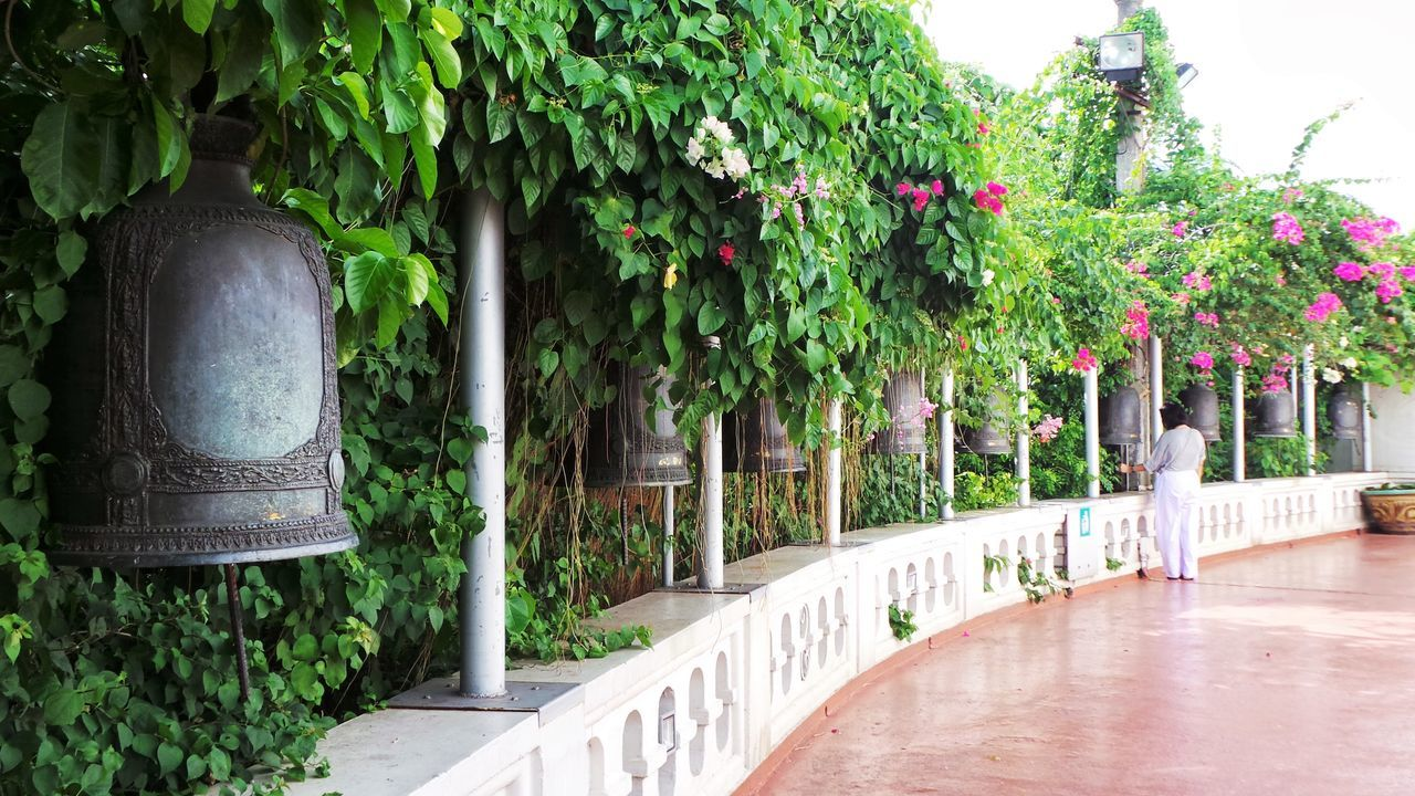 Tourist Attraction  Ancient Asian Culture Bells Flowering Bushes Green Green Leaves Greenery In A Row Lush Foliage Pink Flowers Plants Religion Thailand Tourist Tropical Temple Bells Vines Flowering Vines Rows Of Things Spotted In Thailand