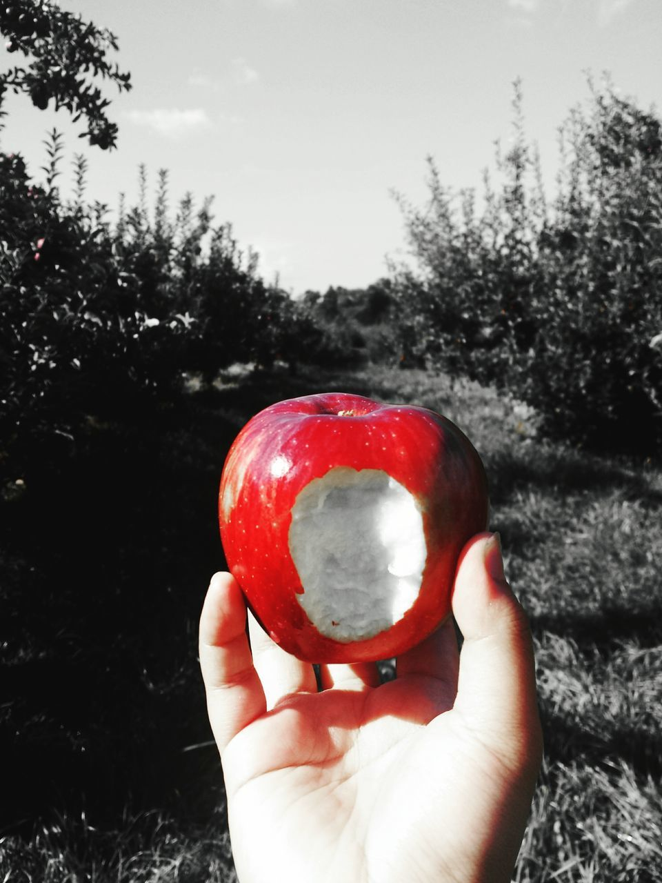 human hand, holding, human body part, tree, one person, fruit, food and drink, outdoors, real people, focus on foreground, close-up, freshness, day, healthy eating, red, food, sky, nature, cold temperature, people