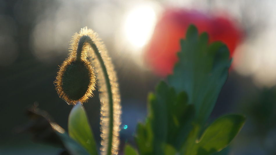 Fuzzy poppy bud in the golden hour sunlight Beauty In Nature Bud Close-up Day Flower Flower Head Fragility Freshness Fuzzy Fuzzy Plant Growth Nature No People Outdoors Plant Poppy