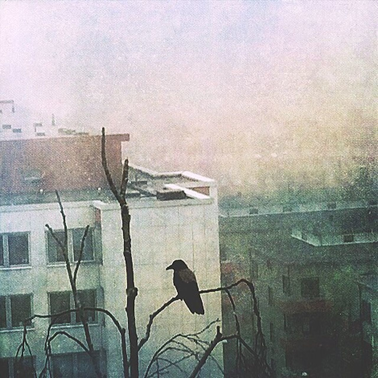 Blackbird Mist From Above  City Bird Foggy Day