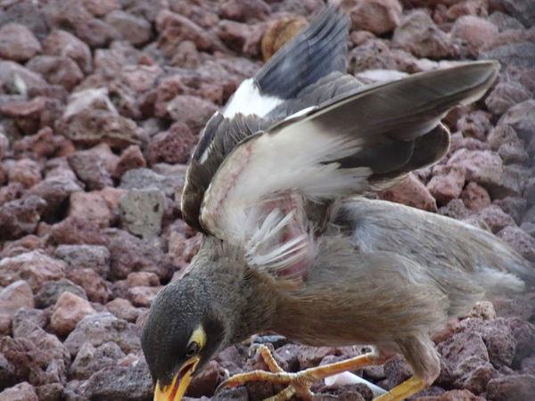 Common Mynah series (7) Acridotheres Tristis Indian Myna Birds EyeEm Birds