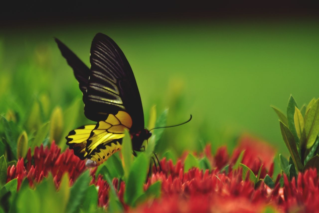 insect, flower, one animal, animal themes, butterfly - insect, nature, animals in the wild, fragility, green color, growth, beauty in nature, selective focus, petal, close-up, animal wildlife, no people, red, plant, flower head, grass, freshness, day, outdoors