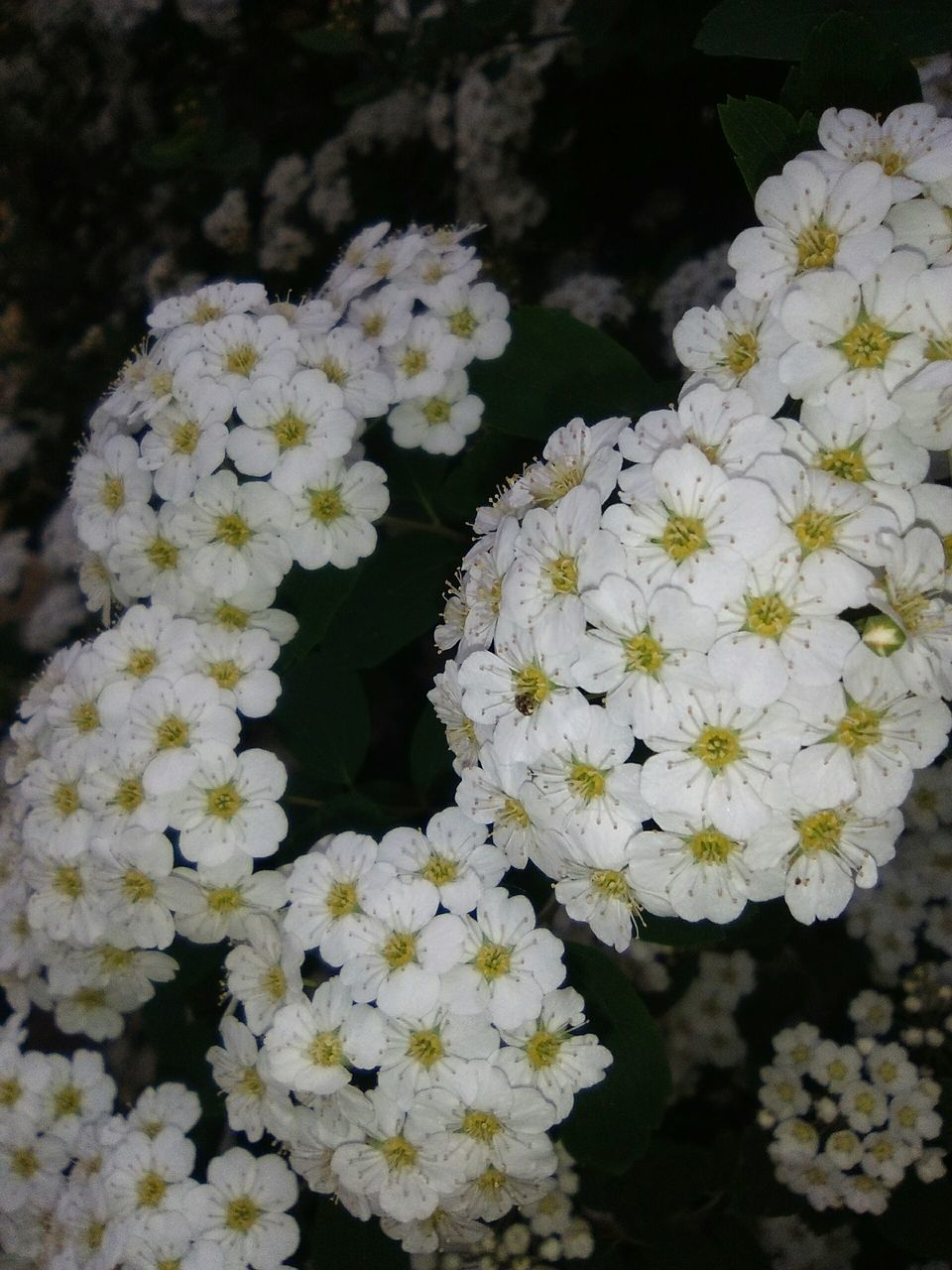 flower, white color, nature, beauty in nature, plant, petal, fragility, growth, freshness, blooming, no people, day, outdoors, flower head, close-up
