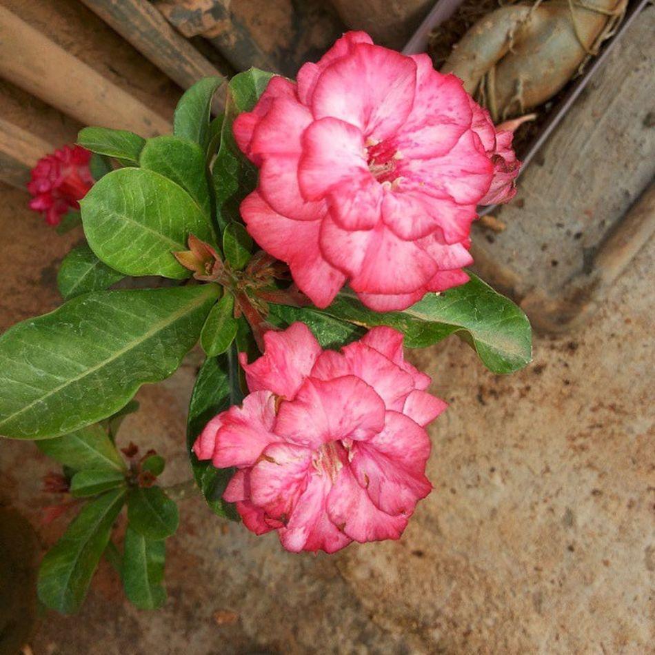 One of its kind 💕Adeniums Flowers Multipetal Nature Desertrose Pink Beautiful Garden Adenium Love Flowersturk Flower Flowery Blossom Plants Lovely Floral Adeniumobesum Instapic Instadaily