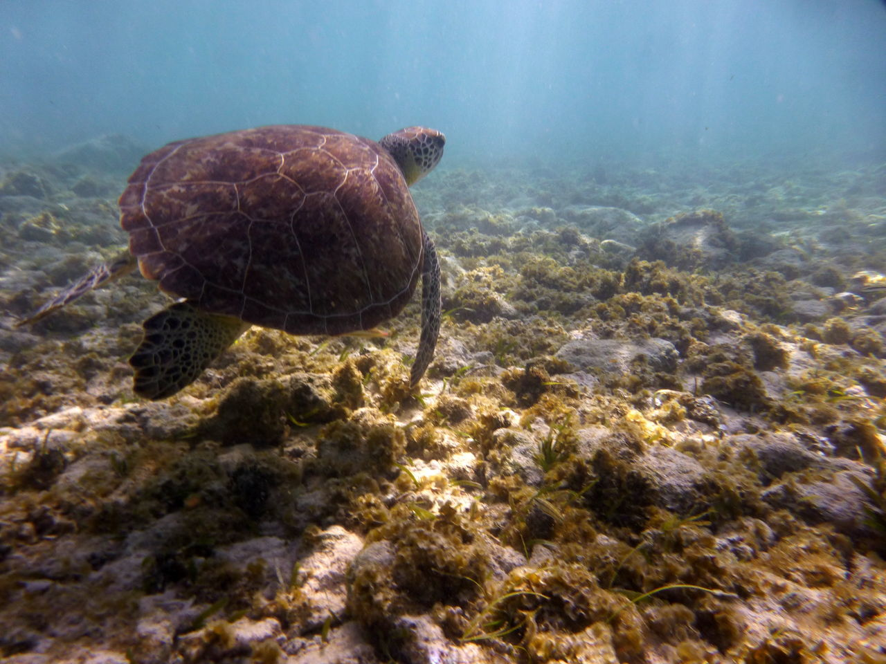 Turtle at Spotts Beach Turtle Underwater Photography Hawksbill Turtle Vacations Outdoors Caymanislands Cayman Caribbean Animal Love Wildlife & Nature Wildlifephotography