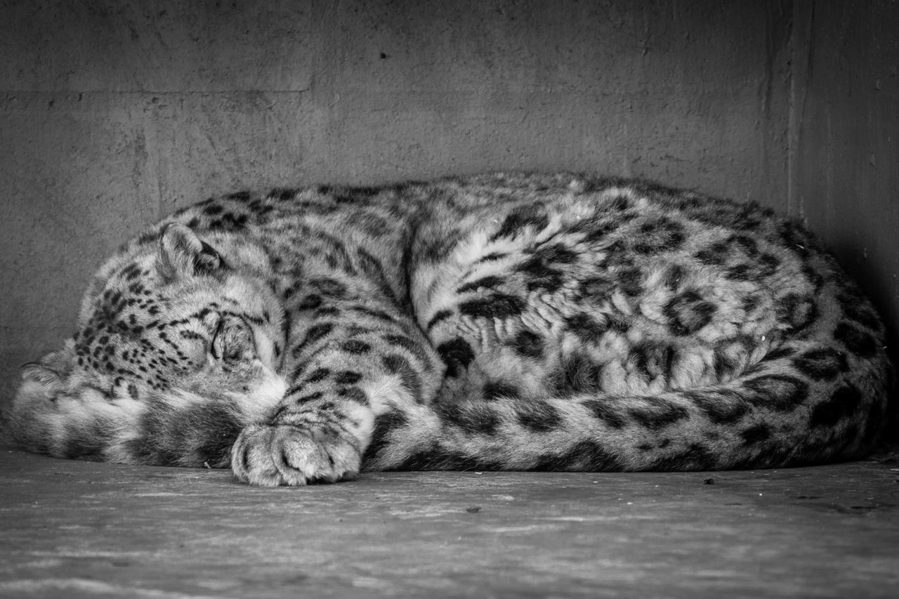 Animal Themes Black And White Close-up Curled Up Curled Up Cat Day Feline Indoors  Leopard Lying Down Mammal No People One Animal Relaxation Resting Sleeping Snow Leopard