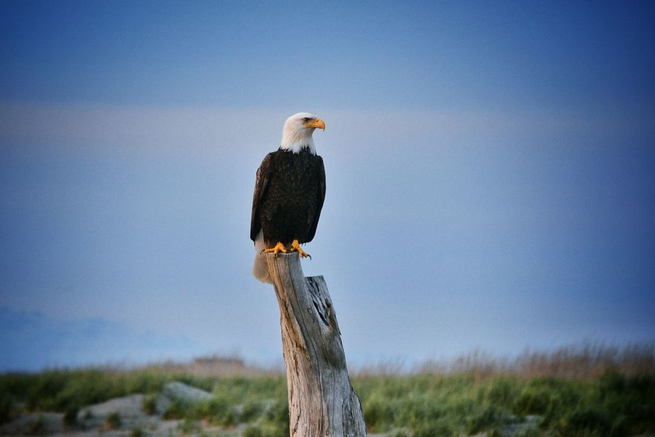 Beautiful stock photos of bald eagle, Animal Themes, Animals In The Wild, Bald Eagle, Clear Sky