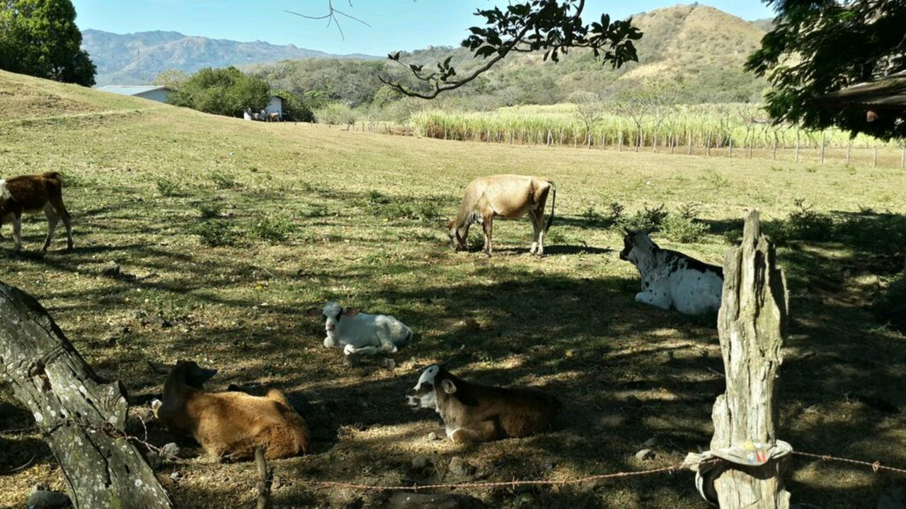 Hanging Out Relaxing Enjoying Life Check This Out Cows Guacima Costa Rica Farm Animals Cows In The Feilds