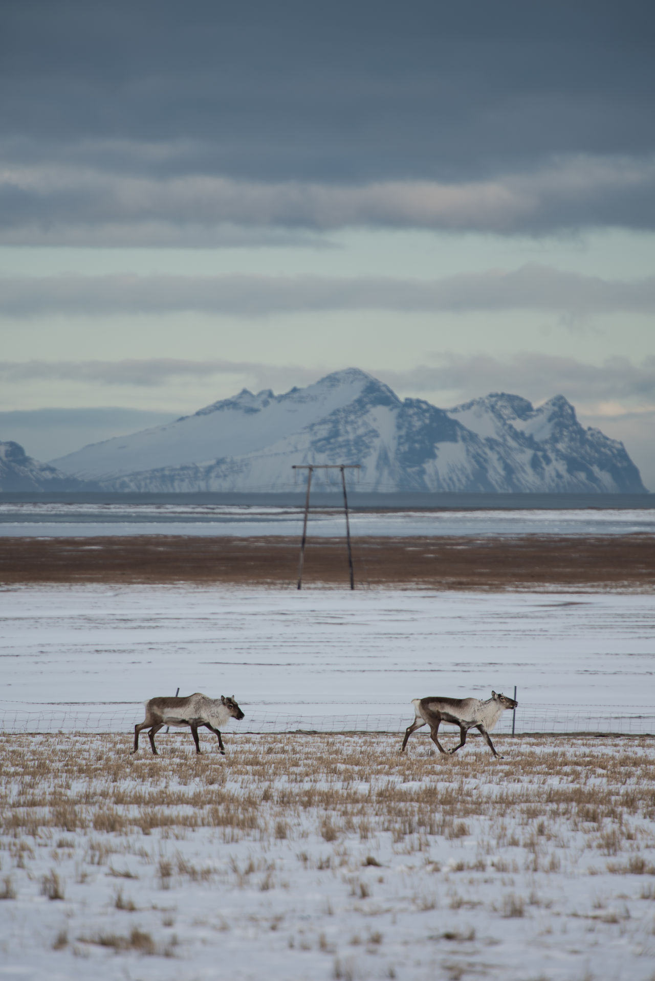 """Winter reindeer During the winter, herds of wild Icelandic reindeer migrate down to lower lands to forage for food. We spotted these reindeer at the end of the day, near the Vatnajökull glacier. (Nikon D810 70.0-200.0 mm f/2.8 ƒ/5.0 340.0 mm 1/200"""" iso 31) Animal Animal Themes Animals In The Wild Beauty In Nature Cold Temperature Day EyeEm Best Shots EyeEm Nature Lover Iceland Landscape Landscapes Mammal Mountain Mountain Range Nature No People Outdoors Reindeer Scandinavia Scenics Snow Vatnajökull Weather Winter Winter"""
