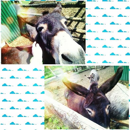 Hi! People Of EyeEm Lovely Donkeys ❤ EyeEm Animal Lover Summer ☀ Verybeautiful I Love Donkeys 😍
