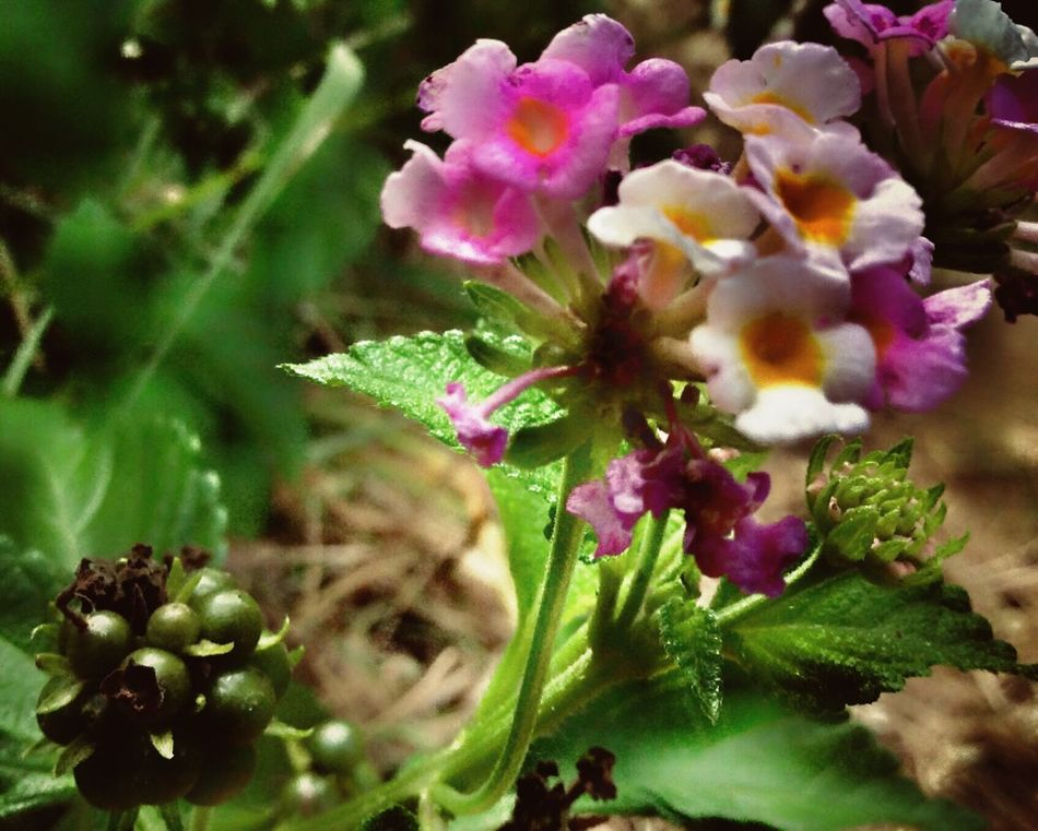 Flowers Close-up Selective Focus Beauty In Nature Plant Blossom Petal Springtime Nature Outdoors Green Color pink purple Hotpink