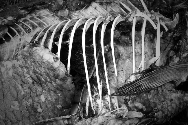 Abundance Backgrounds Bad Condition Bare Bones Bones Close-up Day Dead Fısh Death In Nature Deterioration Full Frame Nature No People Old Outdoors Rib Cage Ribs Run-down
