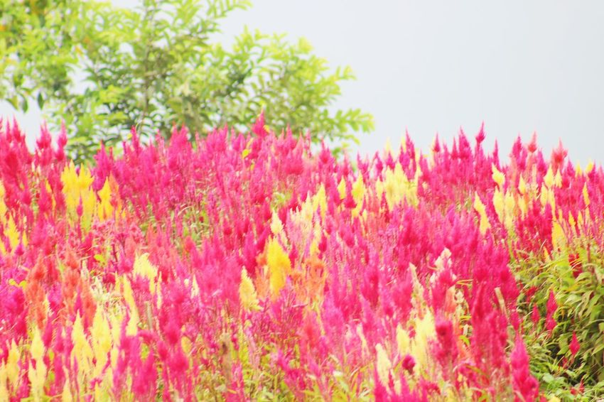 Siraoflowerfarm Sirao Cebu Philippines EyeEm Nature Lover EyeEm Gallery Eyeem Philippines Photooftheday Flower Summer Nature Red Freshness Meadow Beauty In Nature Flowerbed Sunlight Plant Uncultivated Growth Pink Color Beauty No People Outdoors Flower Head