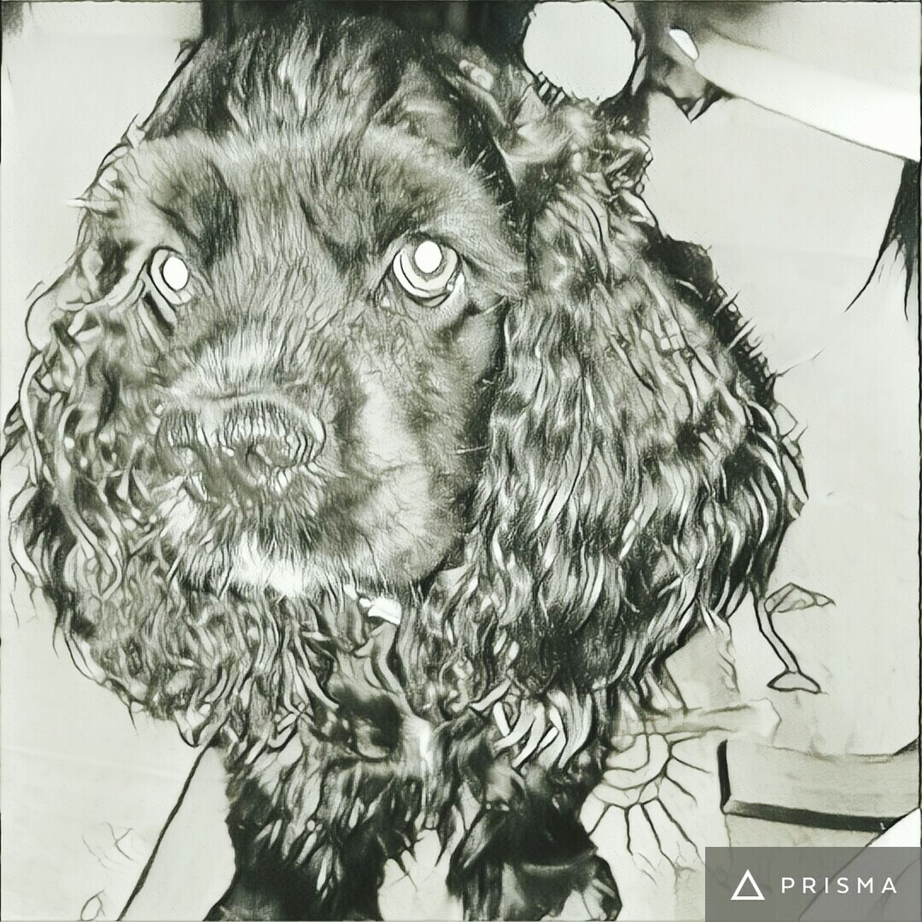 Prisma Dog Bella American Cocker Spaniel Love ♥