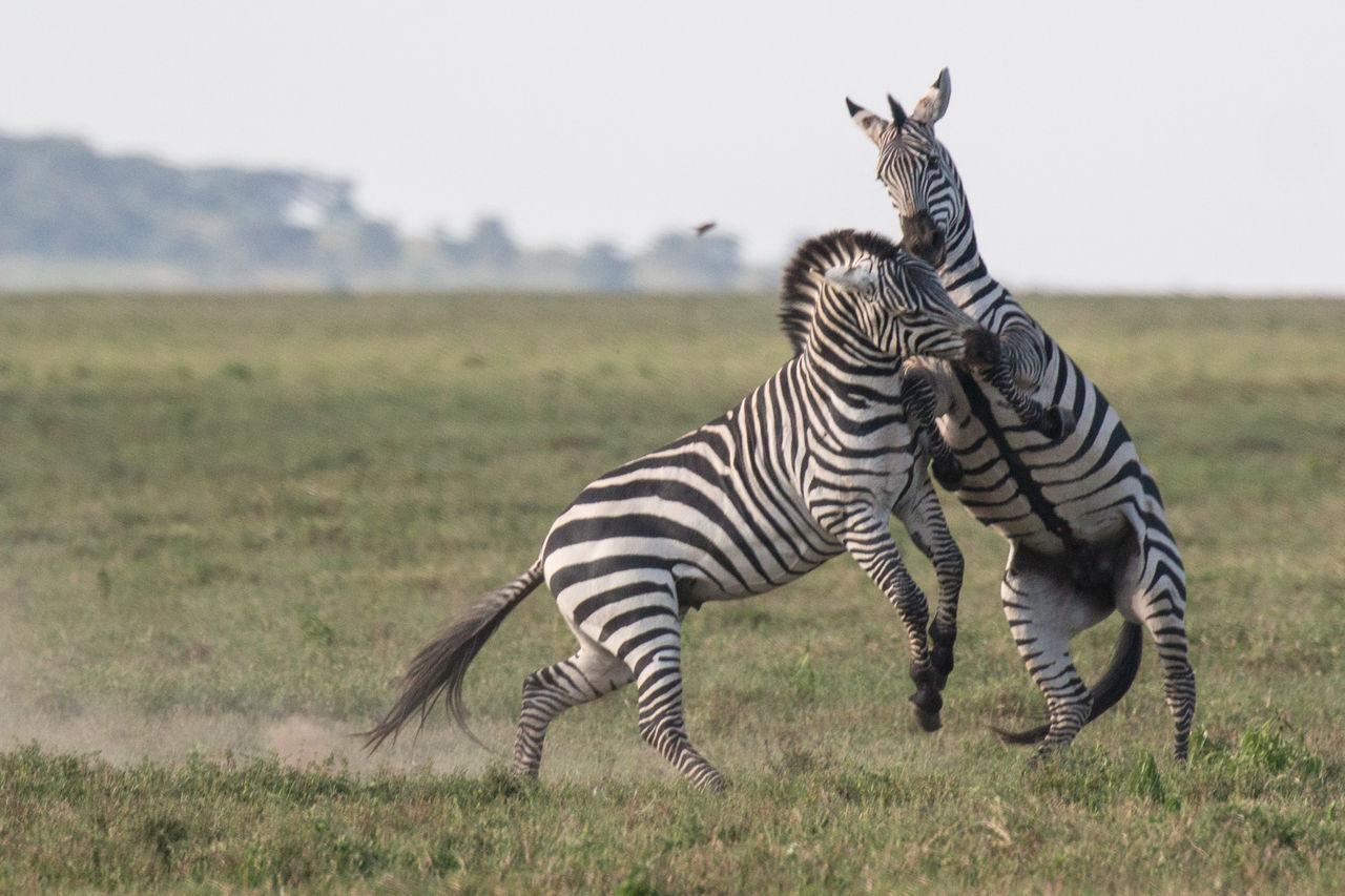Africa African Safari Animal Animal Markings Animal Themes Animal Wildlife Animals In The Wild Beauty In Nature Day Grass Mammal Nature Nature Ngorogoro No People One Animal Outdoors Serengeti Serengeti National Park Sky Striped Tanzania Wildlife Zebra