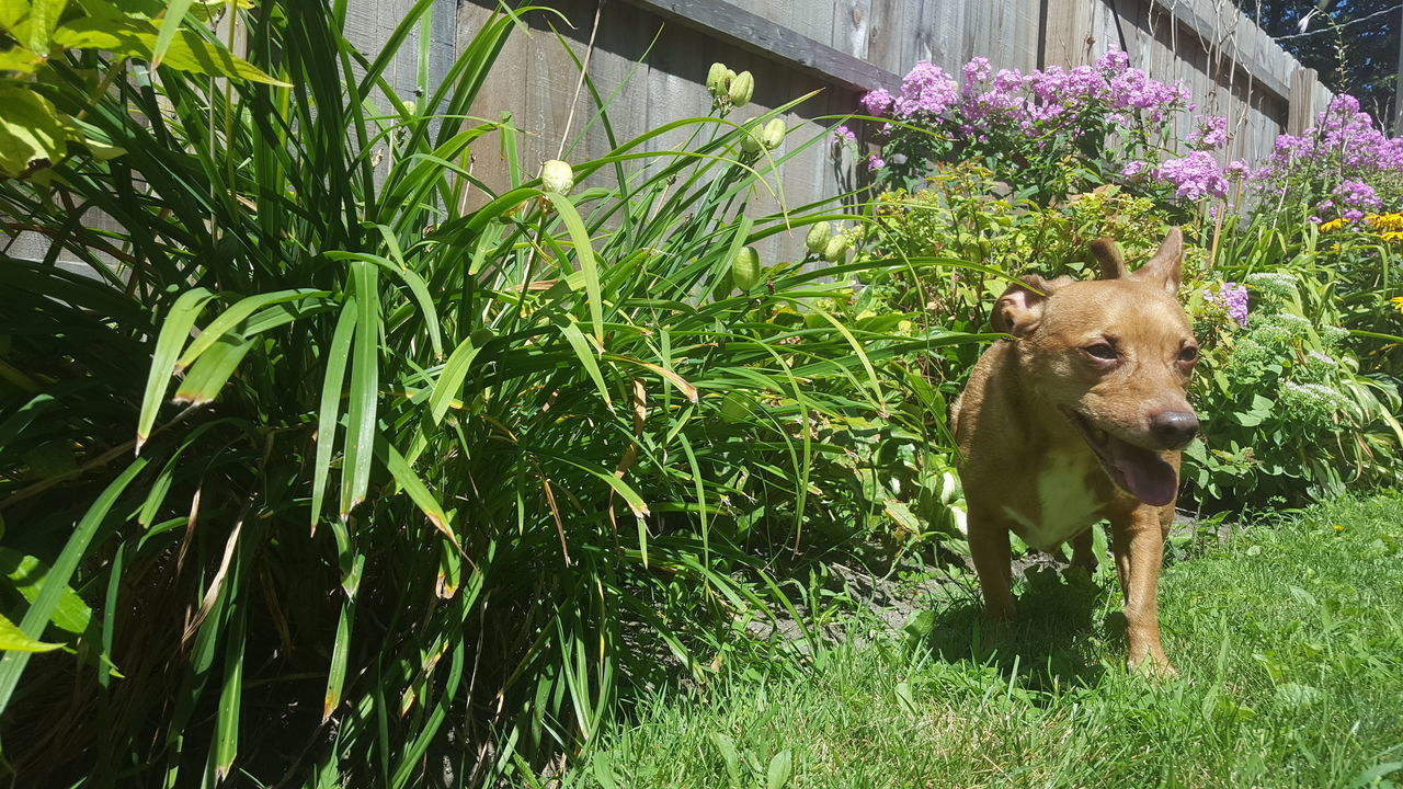 Pet Portraits Animal Themes Dog In Backyard Grass Nature One Animal Outdoors Pets