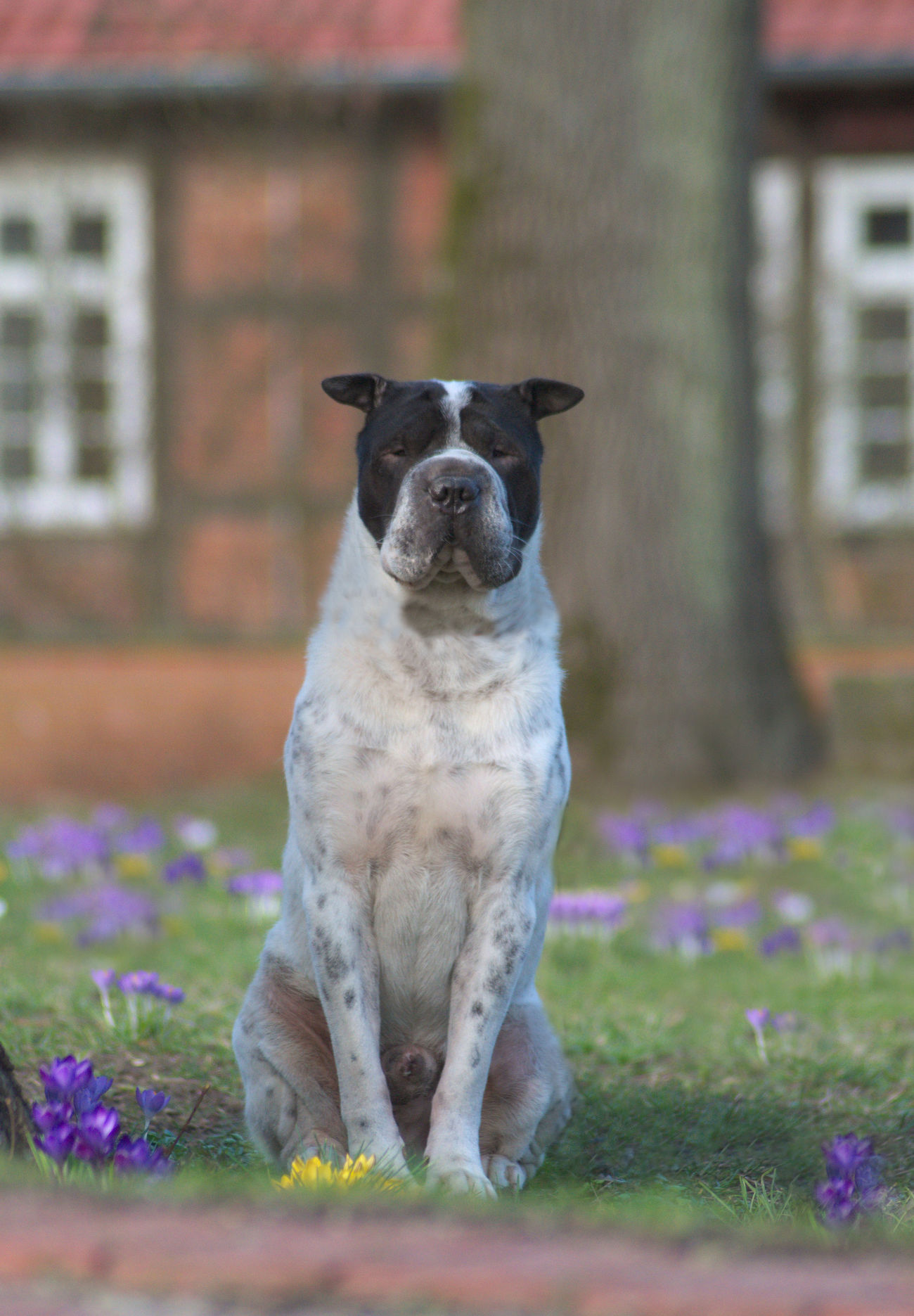 One Animal Grass Dog Flowers Blumen Krokus Krokusse Outdoors Animal Themes No People Animal Pets Dog Photography Hundefotografie Hunde Dogs Shar Pei Natur Nature Half-timbered Fachwerk Fachwerkhaus Bokeh